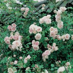Rosier grimpant New Dawn le rosier ancien recherché par les jardiniers
