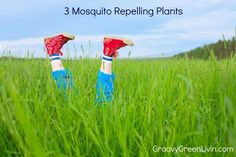 3 Mosquito Repellent Plants via @groovygreenlivi