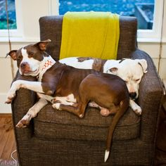 Snuggling pit bulls (Chix and his foster brother Snickerdoodle). Warming my heart so much right now.