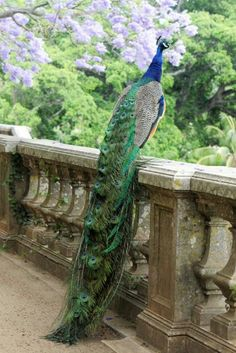 Peacock - The National Bird of India More