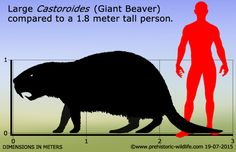 Image result for Florida Fossils  of Giant Beaver