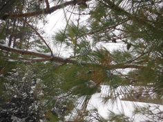 Snowy Pine Tree in Manteo, North Carolina :: January 29, 2014 :: #snOBX