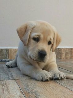 Labrador Retriever – Intelligent and Fun Loving Super Cute Puppies, Cute Baby Dogs, Cute Dogs And Puppies, Cute Baby Animals, Animals And Pets, Pet Dogs, Funny Animals, Doggies, Perro Labrador Retriever