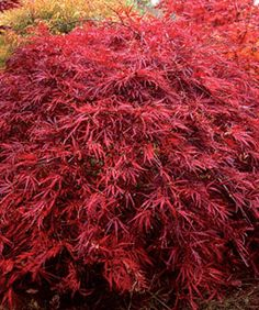 Japanese maples are a stunning addition to any yard.       Fall color on 'Inaba shidare' Photo/Illustration: Francie Schroeder