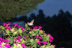 Sphinx Moth is our night-time visitor on the Four O'Clocks.  There were about 25 of them.