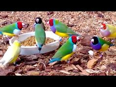 Gouldian Finches are Australia's most spectacularly coloured grass-finches, and are perhaps the most spectacularly coloured of all Australian birds.