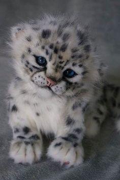 Un ourson léopard des neiges: . - A Snow Leopard Cub.: … A Snow Leopard Cub . Baby Animals Pictures, Cute Animal Pictures, Animals And Pets, Fluffy Animals, Baby Wild Animals, Small Animals, Animals Images, Baby Pictures, Funny Pictures