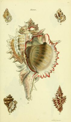 The conchological illustrations or, Coloured figures of all the hitherto unfigured recent shells / - Biodiversity Heritage Library