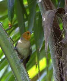 Orange-headed Tanager (Thlypopsis sordida) ©WikiC