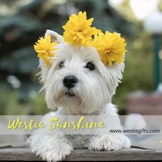 Westies, Westie Puppies, Cute Puppies, Dogs And Puppies, Doggies, West Terrier, West Highland Terrier, Terrier Dog Breeds, Terriers