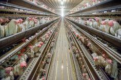 Les ravages de l'élevage industriel - Environnement - Actualité - LeVif.be