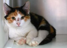 Petango.com – Meet Ellie, a 2 months 22 days Domestic Shorthair / Mix available for adoption in STARKVILLE, MS