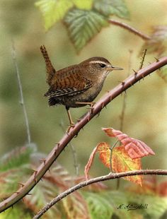 Beswicks wren (nested in front porch box 2013) My husband can  use this to study  for his wood carving.
