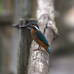 Kingfisher, Sundarbans, Bangladesh