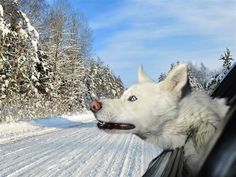 Dogs in Cars - White Husky