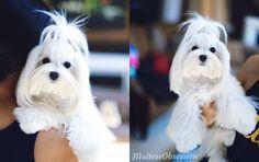 18 Best Maltezers Love Them Images On Pinterest Dog Cat