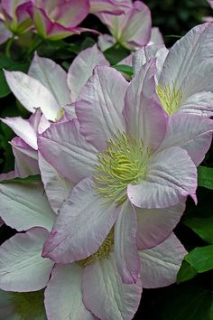 ✯ Beautiful Pale Clematis