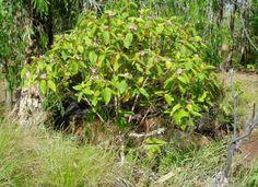 Purple Tongue plant (Melastoma polyanthum); shrub to 2m with edible fruit that turns your tongue purple.