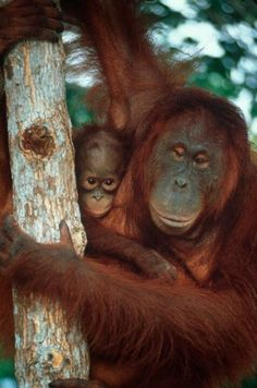 Did you know, it is thought that the orangutans split off from the rest of the great ape species between fifteen to twenty million years ago? #conservation #orangutans
