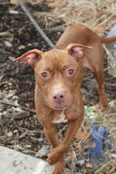 TO BE DESTROYED THUR 1/23/14 - Brooklyn Center   DARA - A0989418   FEMALE, BROWN / WHITE, PIT BULL MIX, 2 yrs  STRAY - STRAY WAIT, NO HOLD Reason STRAY  Intake condition NONE Intake Date 01/12/2014, She seems to be housetrained and to like other dogs.Dara is a super affectionate and loving dog! She is a joy to walk on leash. Help us find her a loving home!