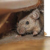 Hot Topics: Can Attic Insulation Deter Rats? Rat Trap Diy, Mice Repellent, Rat Traps, Rodents, Pest Control, Wildlife, Canning, Animals, Animales