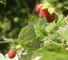 PILUS GIARDINIERE: raspberry in my garden