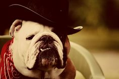 hats and bulldogs is like pigs and mud