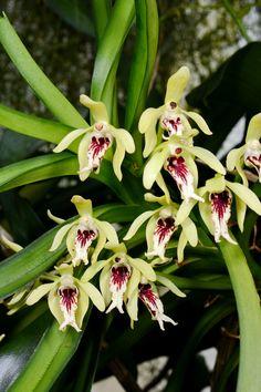 Grown by Jörg Frehsonke, Orchideen Lucke (Germany)