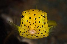 Google Image Result for http://underwater.com.au/content/8834/yellow_spotted_boxfish.jpg