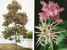 ปาโรซานโตส [ต้นไม้] ต้นตัวเมียดอกสีชมพู ต้นตัวผู้ดอกสีขาว นิยมปลูกต้นตัวเมีย /ตอน ปักชำ Planting, Trees, Flowers, Plants, Tree Structure, Royal Icing Flowers, Wood, Flower, Florals
