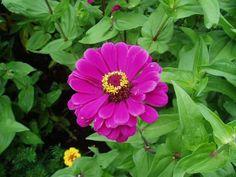 Zinnia 'Royal Purple'