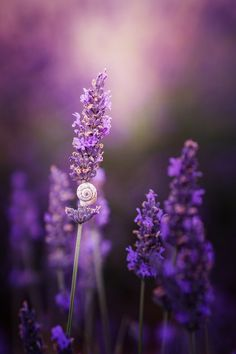 drxgonfly:  The snail shell in lavender (by Reto Imhof)
