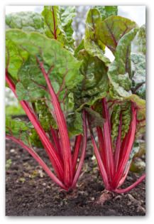 Growing Swiss Chard, Planting Swiss Chard, How to Grow Swiss Chard in Your Garde
