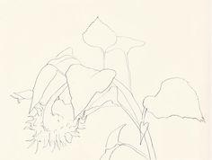 Ellsworth Kelly: Plant Drawings, Sunflower, 1983.