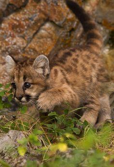 ☀Mountain Lion Cub  By: Walter Nussbaumer
