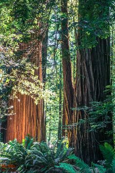 Tall Trees Trail - Redwood National Park- A walk through these beautiful giants calms the soul. Summer Nature Photography, Landscape Photography, Scenic Photography, Night Photography, Landscape Photos, Photography Tips, Oregon Travel, California Travel, Northern California