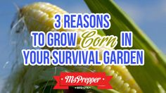 Have you planted your corn yet? #survival #gardening