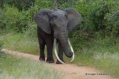 http://www.kruger-2-kalahari.com/images/LARGE-Big_Tusker.jpg