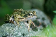 Frosch ~ Frog ~ Grenouille