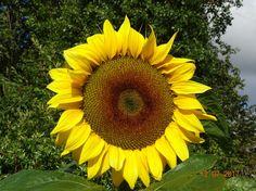 031CA030 - PHOTO - Sunflower