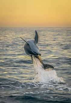 """""""Flipping dolphin at sunrise by Fredde Nilsson on Flickr """""""