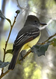 Great-crested flycatcher at Potter Park in Sarasota, Florida. Photo by Jeanne Church.