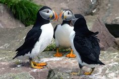 Puffins || Gatherall's Puffin and Whale Watch || Bay Bulls, Newfoundland and Labrador, Canada