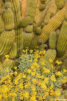 Organ Pipe Cactus with Brittlebush, Organ Pipe Cactus National Monument, Arizona; photo by Ron Niebrugge