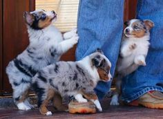 Image result for australian shepherdS