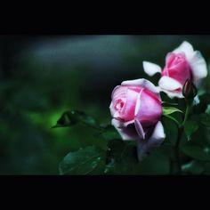 嬉しい悲鳴で写真の在庫が沢山 季節が終わる前に載せないと a pinky rose #rose #flower #pinkyrose #silent #バラ #薔薇 #花
