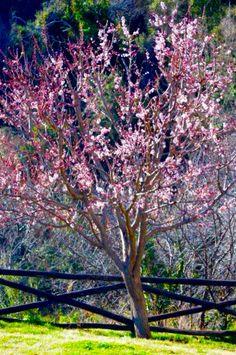 Blossom everywhere, Milies, Pelion. Feb JR.