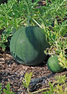 Information on growing watermelon