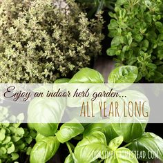 Growing herbs indoors usually requires a bit of effort but with the right advice, you can reap the rewards of a fantastic indoor garden that you can be proud of.
