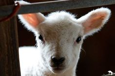 Jason Hornby Sheep Photography